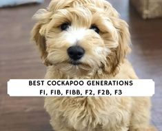 Ever wonder what F1, F1B, F1BB, F2, F2B, or F3 means for a Cockapoo? Our information will help you decide the best Cockapoo Generations for you. Micro Goldendoodle, English Goldendoodle, Goldendoodle Haircuts, Goldendoodle Grooming, Cockapoo, Best Dog Food, Best Dogs, Best Dog Shampoo, Dog Grooming Clippers