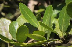 Here's The Buzz On America's Forgotten Native 'Tea' Plant. Yaupon growing in the wild in east Texas. This evergreen holly was once valuable to Native American tribes in the Southeastern U., which made a brew from its caffeinated leaves. Tea Plant, Native American Tribes, Native Americans, Edible Food, Wild Edibles, Flower Pots, Flowers, Native Plants, Permaculture