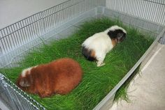 DIY Wheatgrass tub for guinea pigs! -CHEAP- cool to have in the winter and summer!!!