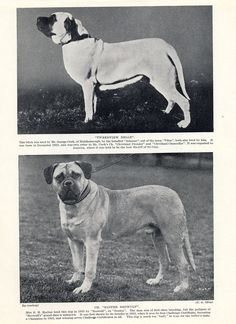 MASTIFF TWO NAMED DOGS OLD ORIGINAL DOG PRINT FROM 1934