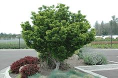 Click to view full-size photo of Lions Head Japanese Maple (Acer palmatum 'Shishigashira') at Oakland Nurseries Inc