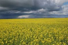 Herbicide and insect resistance are the most commonly engineered traits, but nitrogen fixing for cereals that don't already do so could be a game changer for farmers in developing nations Rapeseed Field, Canola Field, State Foods, Scientific American, Avocado Oil, Agriculture, Vineyard, Outdoor, Genetics
