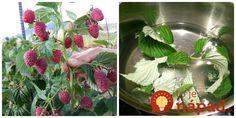 Malinové plody a listy nie sú vhodné len na prípravu dezertov a čaju, málokto vie, aké ohromné sú, keď ich zalejte obyčajným octom. Life Hacks, Strawberry, Fruit, Plants, Gardening, The Fruit, Lawn And Garden, Plant, Lifehacks