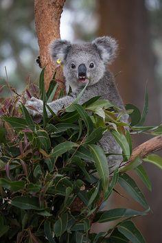 I need to hold a koala! Bucket list item...