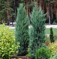 Juniper virginiana 'Blue Arrow' (blue arrow juniper tree)Evergreen  12-15' T  2' W.  Full sun
