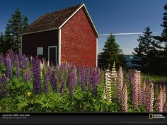 Lupines are my favorite flower!