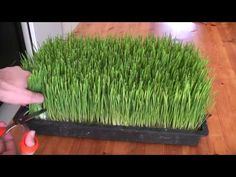 Organic Facts Food of the Week: Wheatgrass - Video on how to grow wheatgrass. If you are unaware, it is really easy to grow wheatgrass at home.  There are many videos on youtube that tell how to grow wheatgrass. We found this one the best as it shows growing wheatgrass in the simplest way possible.