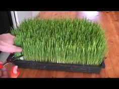 How to grow wheatgrass - YouTube