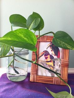 Live Pothos Vine Rooted Cutting in Glass Vase - Grow a Tropical Plant and Clean the Air in Your Home