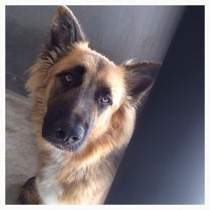 Stray hold safety period for lovely German shepherd ends today.Please share. can we get her adopted?