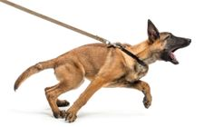 Managing And Treating Reactivity And Aggression In Dogs Many people store fat in the belly, and losing fat from this area can be hard. Here are Managing And Treating Reactivity And Aggression In Dogs tips to lose belly fat, based on studies. Reactive Dog, Aggressive Dog, Service Dogs, Dog Behavior, Dog Training Tips, Dog Care, Puppy Care, Dog Walking, Dog Mom