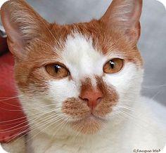 St Louis, MO - Domestic Shorthair. Meet Julius, a cat for adoption. http://www.adoptapet.com/pet/12925116-st-louis-missouri-cat