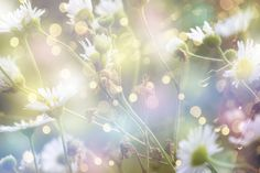 daisies and light