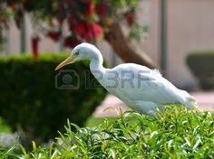 Egyptian heron Bubulcus ibis