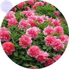 BELLFARM Raro Rei 'Flor Rosa Peônia Vermelha Sementes de Mudas, Pacote Professional, 5 Sementes, luz Do Jardim Perfumado Flores E3262