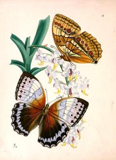 Vintage butterfly illustration; orchid  --  LOADS of FREE Printables on this site!