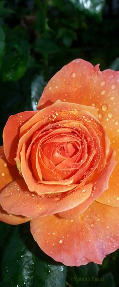 Romantic rose in apricot colour. Photo by Marita Toftgard