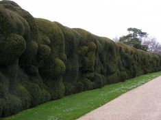 Montacute House: Old cloud pruned yew hedges