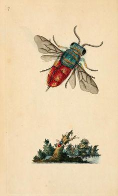 The natural history of British insects, Edward Donovan, 1792.