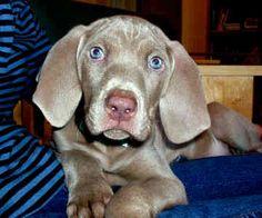 Resultados de la Búsqueda de imágenes de Google de http://static.gotpetsonline.com/pictures-gallery/dog-pictures-breeders-puppies-rescue/weimaraner-pictures-breeders-puppies-rescue/pictures/weimaraner-0079.jpg