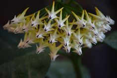 Hoya Multiflora cutting has 4e bunch of flowers this year,