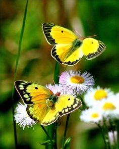 #Papillons #Fleurs #Nature