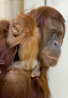 Critically Endangered Orangutans.