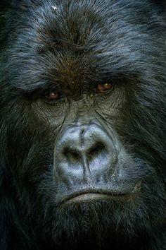 silver back,gorilla in Bwiindi impenetrable national park in Uganda