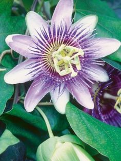Tuinbloeier passiebloem maakt indruk met zijn exotische bloemen. #tuinbloeier #planten