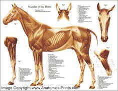 HorseMuscularAnatomyPoster.jpg (715×554)