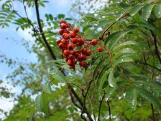 Rowan (Sorbus aucuparia) is also known as mountain ash and is native to the UK and northern and western Europe.