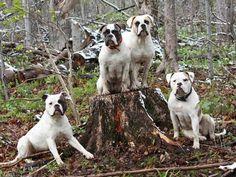 American Bulldog - Dog Breed Standards