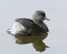 Least Grebe #8 (out of order) First seen: Mitchell Lake Audubon Center, San Antonio, TX USA