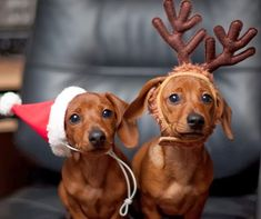 Puppy - Dog - Canine - Breed: Dachshund - Portrait - Christmas - Holidays - Santa Hat - Photography