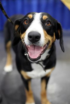 I will definitely have this dog one day. Mountain Dog Breeds, Entlebucher Mountain Dog, Swiss Mountain Dogs, Airedale Terrier, Schnauzer, Rottweiler, Dog Breakfast, Collie, Wild Dogs