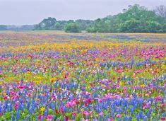 Wildflowers in bloom in Texas