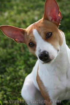 Oliver, a 2 year old Rat Terrier  http://facebook.com/vendageratterriers  http://vendageratters.com/