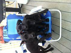 Black Great Danes 12 weeks old