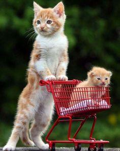 Just an adorable kitten pushing an even smaller kitten in a miniature shopping cart.