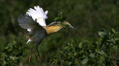 """Supranumita """"Delta Banatului"""", Mlastina Satchinez reprezinta o rezervatie naturala ornitologica, apreciata drept un paradis al pasarilor acvatice. Aceasta se numara printre cele mai cunoscute atractii turistice ale judetului Timis, fiind localizata la marginea Localitatii Satchinez si intinzandu-se pe o suprafata de aproximativ 2000 de hectare."""