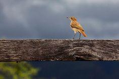 João-de-barro | Aves pássaros passaredos passarinhos ...