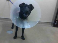 COCO-ID#A676752    My name is COCO.    I am a spayed female, black Labrador Retriever and Chow Chow.    The shelter staff think I am about 1 year and 2 months old.    I have been at the shelter since Nov 29, 2012.