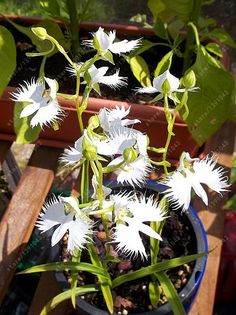 100 pcs/bag Japanese Radiata Seeds White Egret Orchid Seeds World's Rare Orchid Species White Flowers Orchidee Garden plant