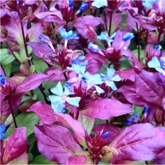 A stunningly colourful shrub for Autumn interest, it features vibrant sky-blue flowers and deep maroon leaves from late Summer until frost.