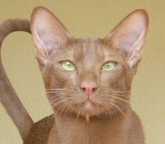 Sind hier auch Orientalisch Kurzhaar / OKH´s? - Seite 10 - Katzen Forum
