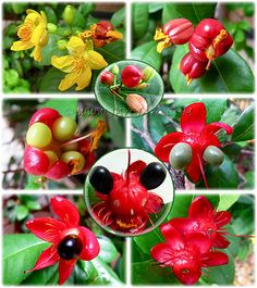 Unusual Flowering and Fruiting Sequence - Mickey Mouse Plant - Ochna serrulata - This flowering plant of the family Ochnaceae owes its name to its bright-red sepals, which resemble Mickey Mouse. It is a small shrub growing between 3'-7' (1-2 m) high, although it may occasionally become a small tree up to 20' (6 m)