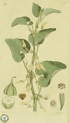 Birthwort. Aristolochia clematitis. Once thought to be medicinal, it is actually poisonous. Now believed to be the cause of thousands of kidney failures in Eastern Europe. (1809)
