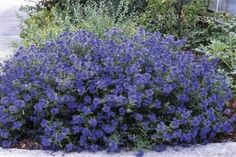 Caryopteris, Sapphire Surf. (Caryopteris x clandonensis 'Blauer Splatz') Compact, low-maintenance shrub produces a mondo swell of stunning flowers from top to bottom from late summer through early fall. Its sweet blue blooms are a butterfly magnet, and make far out cut flowers. Deer resistant and drought tolerant. Excellent border or accent plant from First Editions.  2' x 3'
