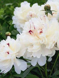 Paeonia lactiflora 'Festiva Maxima' Garden Peony from Moose Crossing Garden Center