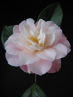 ~CAMELLIA 'Ann Sothern'. It's January and the camellia's are in bloom. Stunning!